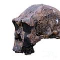 Skull Of Homo Erectus by Babak Tafreshi