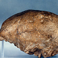 Skull Of Peking Man by Granger