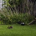 Skunk And Rabbit Surprise by Karen Casey-Smith