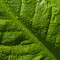 Skunk Cabbage Leaf by Cathy Mahnke