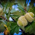 Sky Lit Oak Acorns by LeeAnn McLaneGoetz McLaneGoetzStudioLLCcom