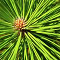 Slash Pine Needles by Arthur Dodd