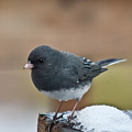 Slate Junco Feeding In Snow by Douglas Barnett