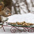 Sled Squirrel by Karin Pinkham