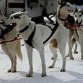 Sledge Dogs H B by Gert J Rheeders