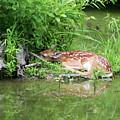 Sleep Fawn White Tailed Deer by Linda Pearson