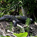 Sleeping Alligator by Barbara Bowen