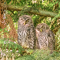 Sleeping Barred Owlets by Jennie Marie Schell