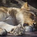 Sleeping Beauty,  Houston Zoo by TN Fairey