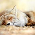 Sleeping Beauty -red Fox In Rest by Roeselien Raimond