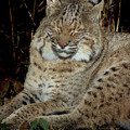 Sleepy Bobcat by Karen Adams