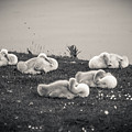 Sleeping Cygnets by Anthony Chapman