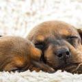 Sleeping Dachshund Puppies by SR Green