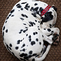 Sleeping Dalmatian by Rafa Rivas