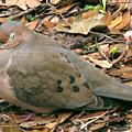 Sleeping Dove by Peg Urban