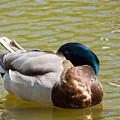 Sleeping Duck On Pond by Miroslav Nemecek