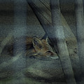 Sleeping Fox by Maria Reverberi
