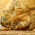 Sleeping Lion by Ches Black
