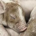 Sleeping Piglet by Brad Allen Fine Art