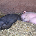 Sleeping Pigs In The Hay by Melissa Parks