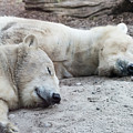 Sleeping Polar Bears by Michael Ver Sprill