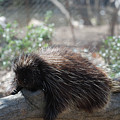 Sleeping Porcupine With Lots Of Quills by DejaVu Designs