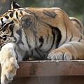 Sleeping Tiger by Jim Allsopp