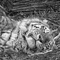 Sleeping Tiger by Martin Newman