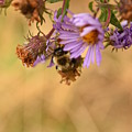 Sleepy Bee On New England Aster Vertical by Rowena Throckmorton