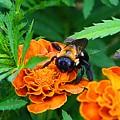 Sleepy Bumblebee by Kathryn Meyer