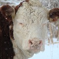 Sleepy Winter Cow by Gothicrow Images