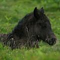 Sleepy Dartmoor Foal by Rawshutterbug
