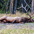 Sleepy Elk 2009 03 by Jim Dollar