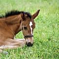 Sleepy Foal by Alynne Landers