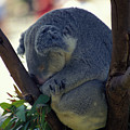 Sleepy Koala Bear by Carl Purcell