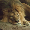 Sleepy Lion by Matt Steffen