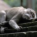 Sleepy Monkey In Monkey Forest Ubud Bali by Gordon Wood