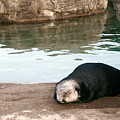 Sleepy Sea Otter by Claire McGee