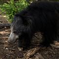 Sloth Bears Melursus Ursinusat by Joel Sartore