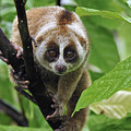 Slow Loris Nycticebus Coucang, Northern by Thomas Marent