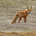 Sly Fox 5785 by Jack Schultz