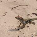 Small Brown Lizard Sitting On A White Sand Beach by DejaVu Designs