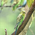 Small Budgie Birds With Beautiful Colored Feathers by DejaVu Designs
