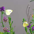 Small Butterflies Sipping Flower Nectar by Anne Keiser