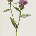 Small Knapweed  by Frederick Edward Hulme
