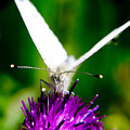 Small  White Cabbage Butterfly Pieris Rapae by Chris Smith