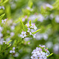 Small White Flowers by DesignBoard Photography
