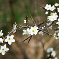 Small White Flowers Of Thorns by Jozef Jankola