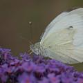 Small White by Mickey At Rawshutterbug