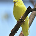 Small Yellow Budgie Parakeet In The Wild by DejaVu Designs